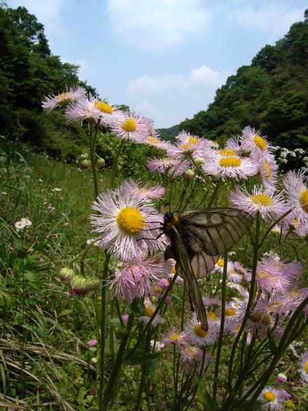2008年5月中旬 初夏の蝶の五目撮り(飛翔・広角編)_d0054625_17395865.jpg