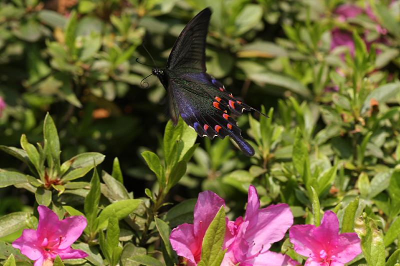 2008年5月中旬 初夏の蝶の五目撮り(飛翔・広角編)_d0054625_17423413.jpg