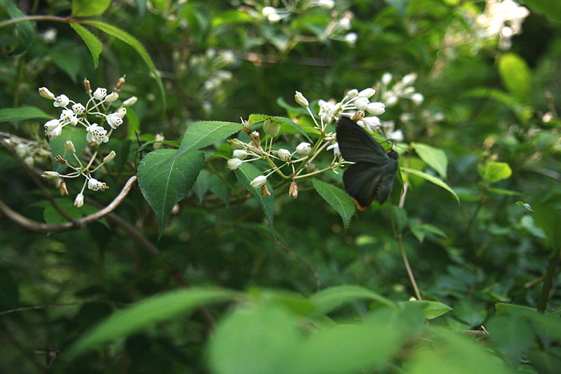 2008年5月中旬 初夏の蝶の五目撮り(飛翔・広角編)_d0054625_1745481.jpg