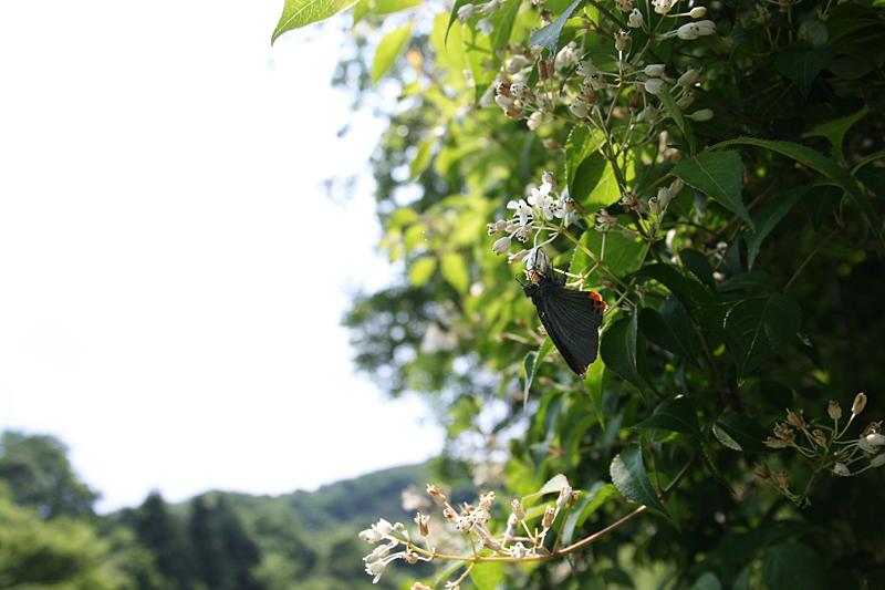 2008年5月中旬 初夏の蝶の五目撮り(飛翔・広角編)_d0054625_17575364.jpg