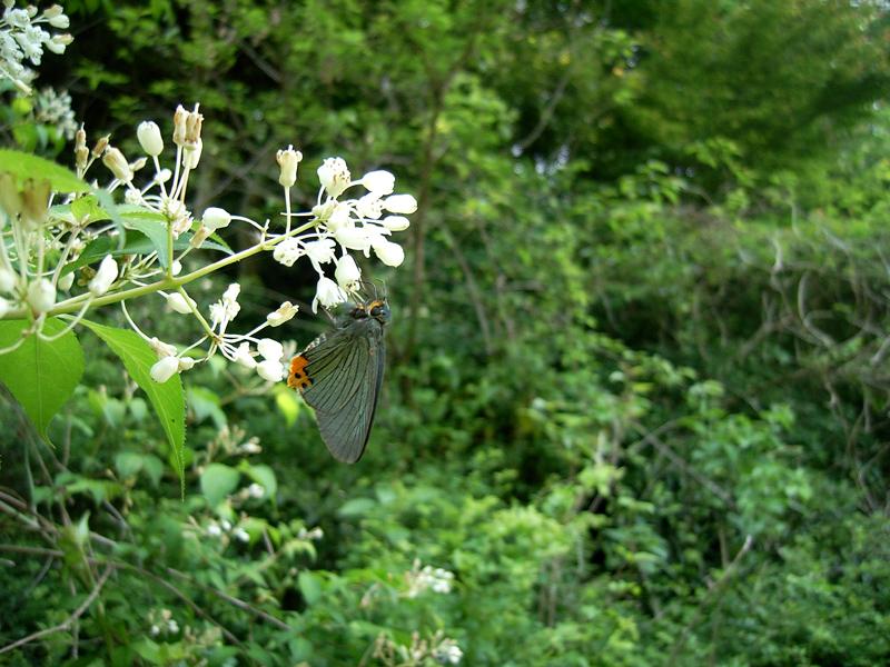 2008年5月中旬 初夏の蝶の五目撮り(飛翔・広角編)_d0054625_17584879.jpg