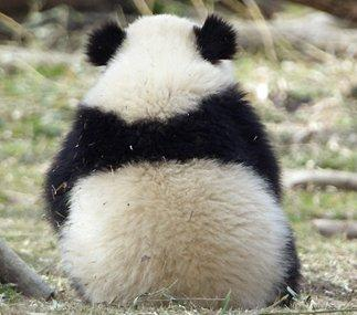14頭の赤ちゃんぱんだ誕生記念してかわいすぎる。パンダの画像。