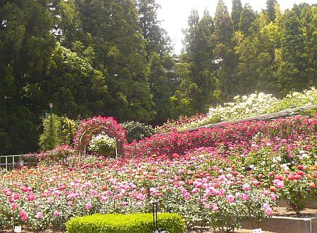 バラ園♪_d0078486_22533180.jpg
