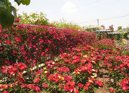 バラ園♪_d0078486_2334191.jpg