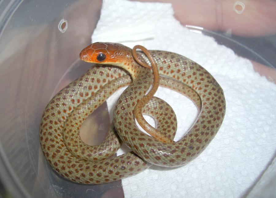 クチバシヘビの赤ちゃん