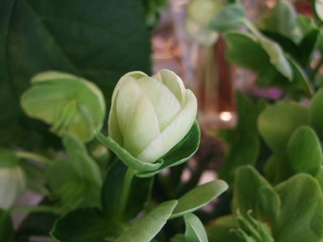 オークリーフ(蕾の花たち)_f0049672_17571169.jpg