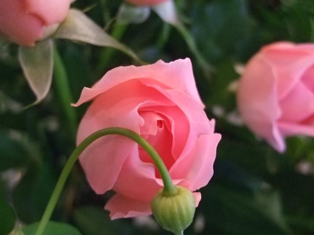 オークリーフ(蕾の花たち)_f0049672_17581373.jpg