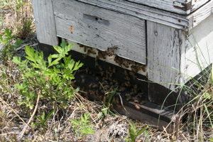 蜂蜜とれました_c0123523_186826.jpg