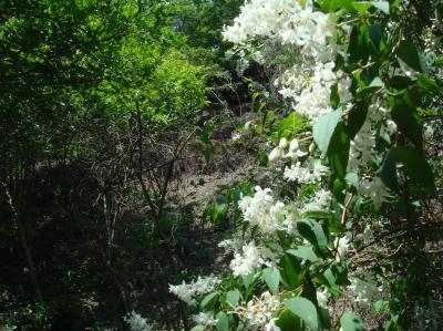 定例活動日…卯の花が真っ盛り_c0108460_1826151.jpg