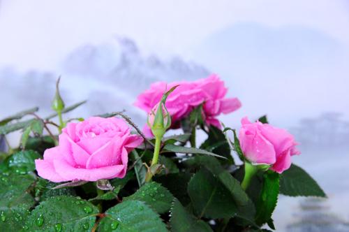 祝い.薔薇_b0133890_11182388.jpg