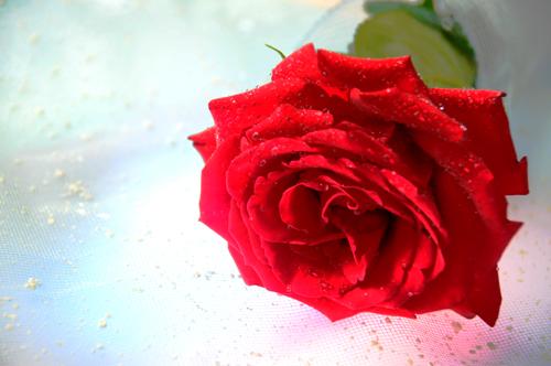 薔薇お祝い_b0133890_1150982.jpg