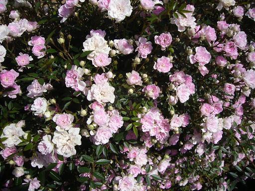 生田緑地バラ園 2008,5,27_e0108897_23425693.jpg