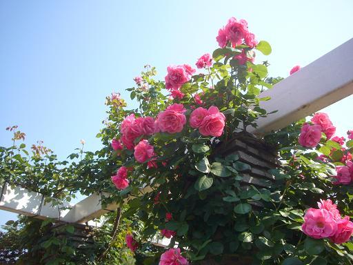 生田緑地バラ園 2008,5,27_e0108897_2346293.jpg