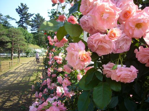 生田緑地バラ園 2008,5,27_e0108897_2373041.jpg