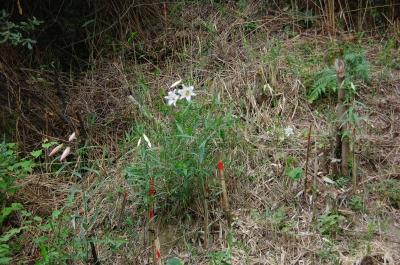 ササユリが咲きました…うみべの森で初開花_c0108460_205195.jpg