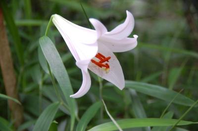 ササユリが咲きました…うみべの森で初開花_c0108460_2052289.jpg