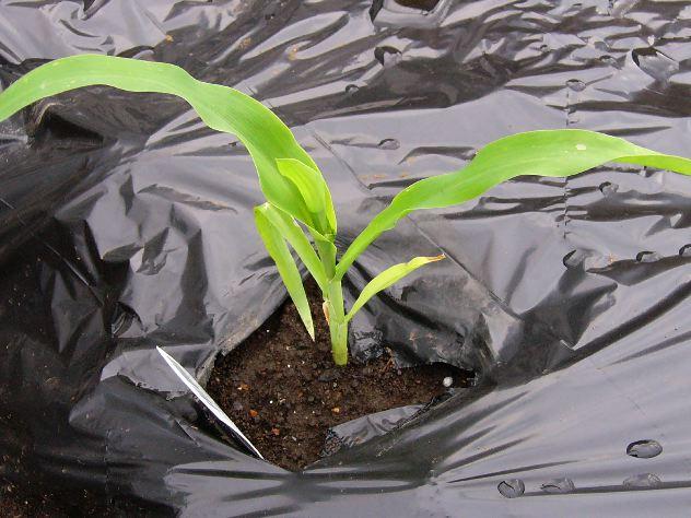 トウモロコシの定植とキュウリの発芽_c0053863_21231012.jpg