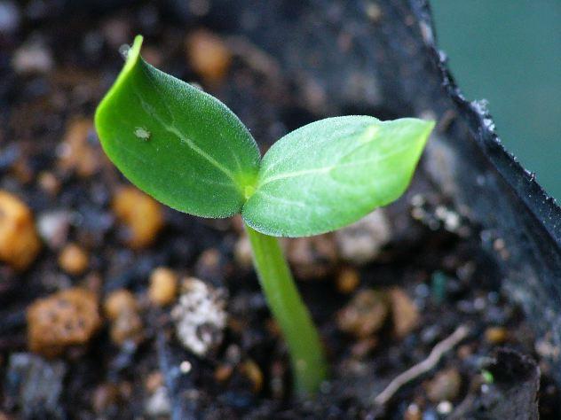トウモロコシの定植とキュウリの発芽_c0053863_2128975.jpg