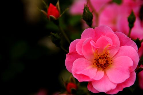 小ちゃな薔薇。_b0133890_17192051.jpg
