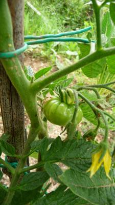 トマトを考える_f0106597_1911239.jpg