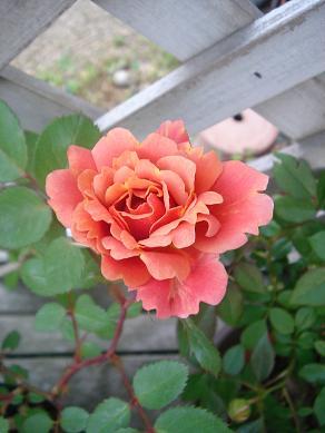 初夏の庭_e0086738_830462.jpg