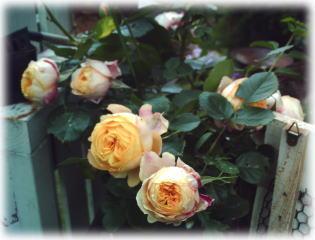 薔薇のアーチ_d0142770_933333.jpg