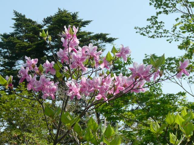 石鎚山に咲く野の花_f0099147_8132624.jpg