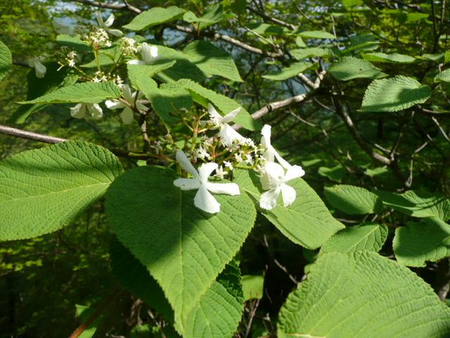 石鎚山に咲く野の花_f0099147_8275961.jpg