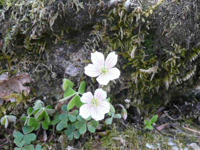 石鎚山に咲く野の花_f0099147_85372.jpg