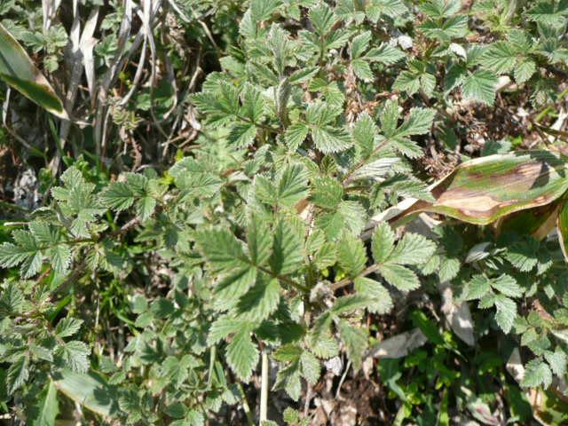 石鎚山に咲く野の花_f0099147_9132174.jpg