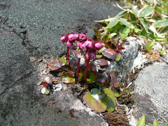 石鎚山に咲く野の花_f0099147_915793.jpg