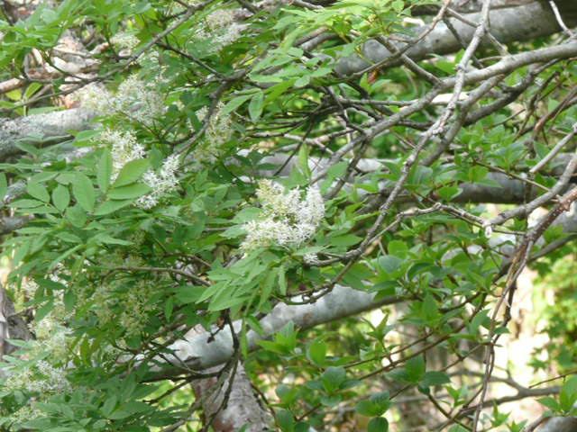 石鎚山に咲く野の花_f0099147_9162494.jpg