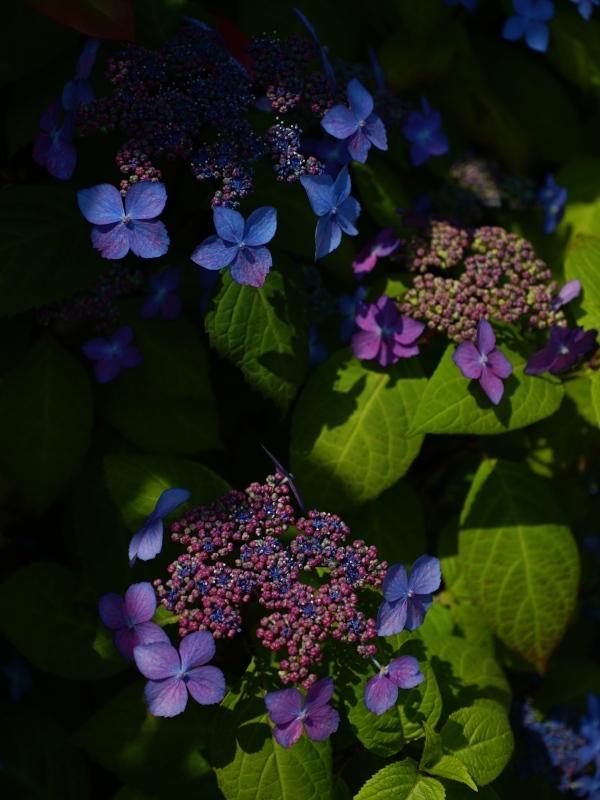 額紫陽花。_f0070556_19504228.jpg