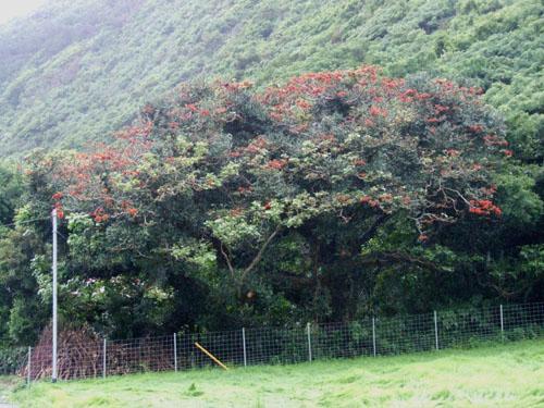 加計呂麻島、あまくまのデイゴ情報_e0028387_010679.jpg