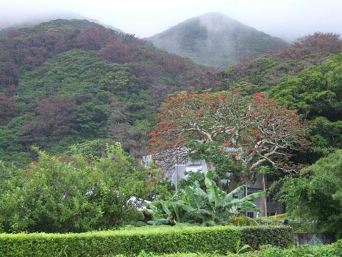 加計呂麻島、あまくまのデイゴ情報_e0028387_0115237.jpg