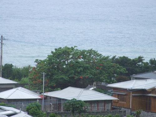加計呂麻島、あまくまのデイゴ情報_e0028387_0144270.jpg