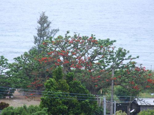 加計呂麻島、あまくまのデイゴ情報_e0028387_014673.jpg