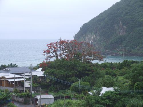 加計呂麻島、あまくまのデイゴ情報_e0028387_015307.jpg