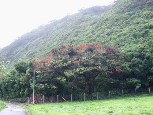 加計呂麻島、あまくまのデイゴ情報_e0028387_093918.jpg