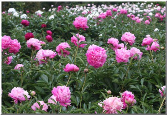 芍薬の園_d0123528_17318.jpg