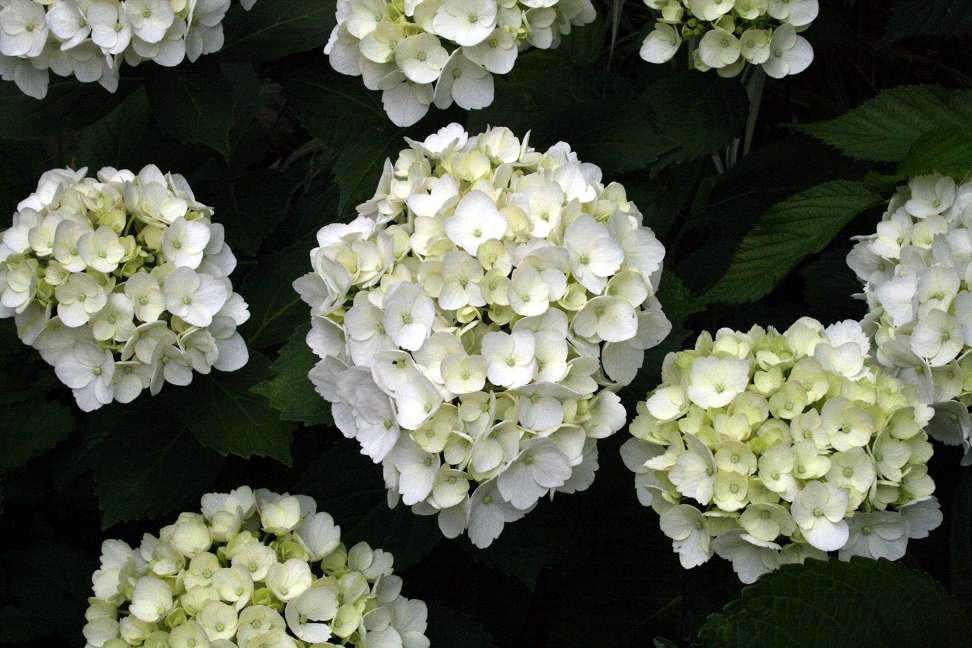 白花アジサイ&アナベル_a0107574_146465.jpg