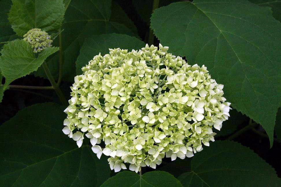 白花アジサイ&アナベル_a0107574_1471083.jpg