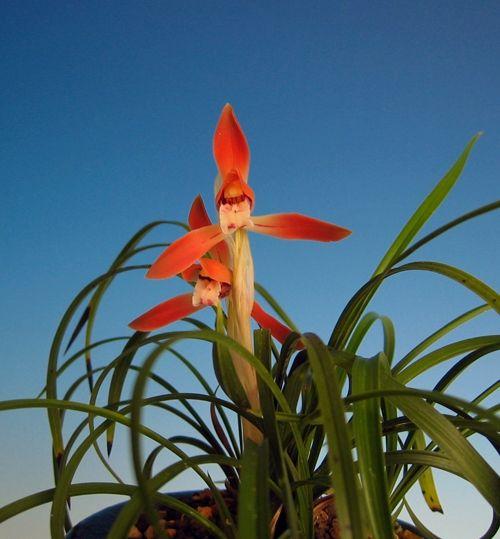 ◆日本春蘭紅花「篝火」               No.10_f0178953_19353798.jpg