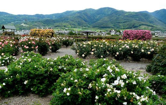 さかき千曲川バラ公園(6月4日)_d0066822_14372266.jpg