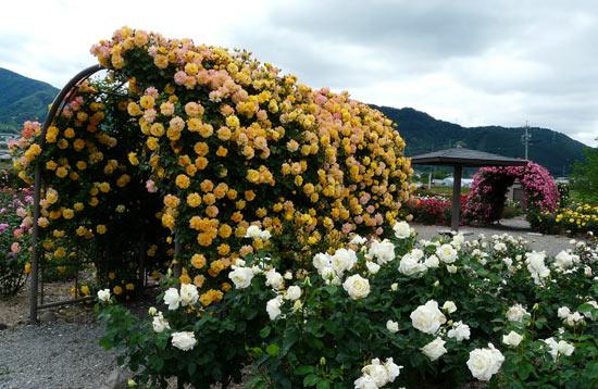 さかき千曲川バラ公園(6月4日)_d0066822_14373918.jpg