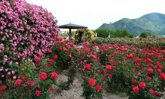 さかき千曲川バラ公園(6月4日)_d0066822_14381060.jpg