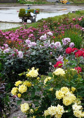 さかき千曲川バラ公園(6月4日)_d0066822_14395356.jpg
