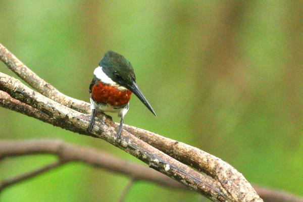 ミドリヤマセミ Green Kingfisher_d0067451_14592367.jpg