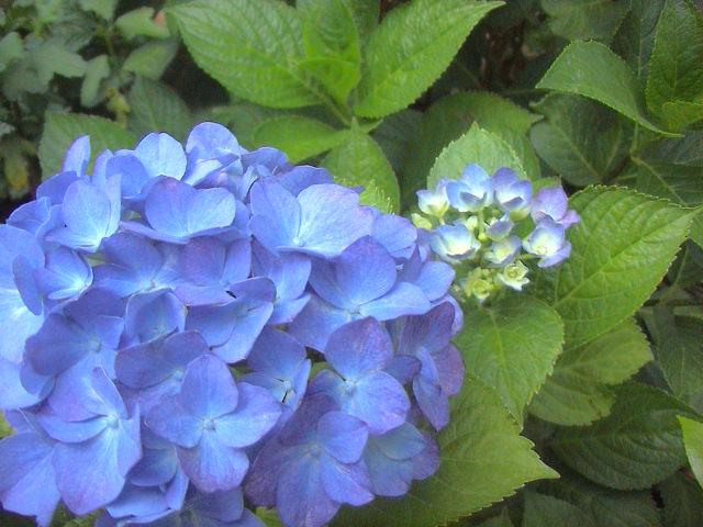 紫陽花。_e0060555_1841816.jpg