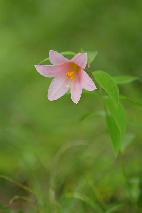 白花のヒメサユリ_c0077395_21513861.jpg
